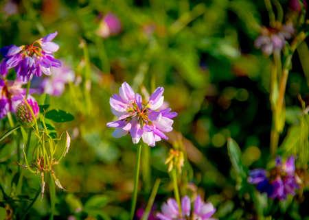 trifolium: Trifolium pratense. Thickets of a blossoming clover