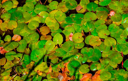 duckweed: Common duckweed Lemna minor Full frame texture.