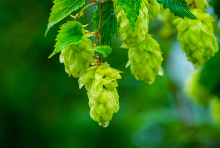 hopfield: Green hop cones in the rainy summer hanging on a branch Stock Photo