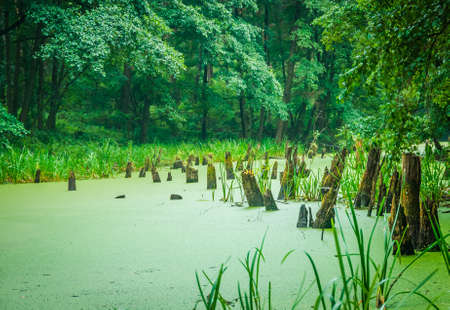 impenetrable: Stumps in the forest swamp in a large impenetrable forest Stock Photo