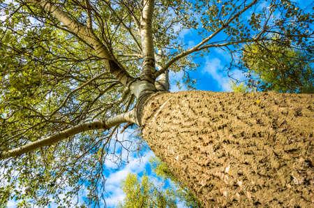 arbol alamo: Tronco y ramas de un �rbol de �lamo en verano Foto de archivo
