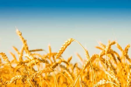 wheat fields: A wheat field, fresh crop of wheat.