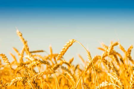 cebada: Un campo de trigo, nueva cosecha de trigo.