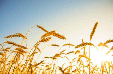 wheat field: A wheat field, fresh crop of wheat.