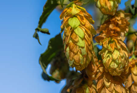 hopfield: Golden Green hop cones in good weather hanging on a branch Stock Photo