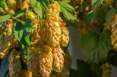 lupulus: Golden Green hop cones in good weather hanging on a branch Stock Photo