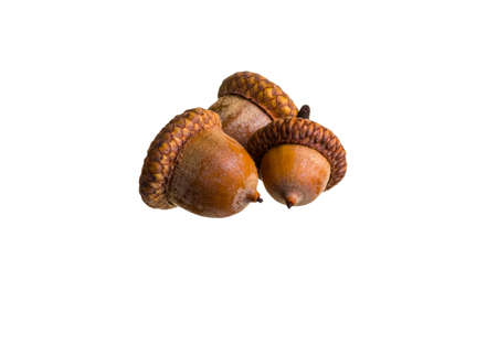 ice age: Beautiful acorn from proteins from the Ice Age