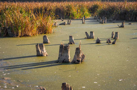 frost bound: Stumps in the marsh in early autumn when the first frost when the bound water ice Stock Photo