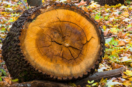 large tree: A beautiful slice of a large tree stump in the forest Stock Photo