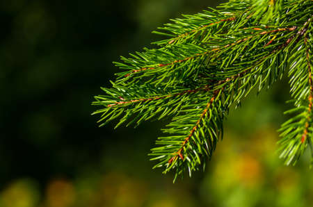nature backgrounds: Fresh green fir branch in the forest Stock Photo