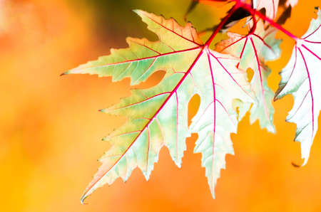rosso verde: Beautiful yellow red green leaf in autumn background Archivio Fotografico