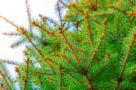blue green background: beautiful branch of blue spruce green background close