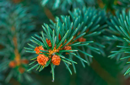picea: beautiful branch of blue spruce green background close
