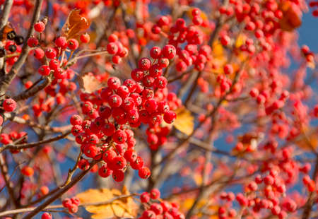 sorbus aucuparia: Ripe rowan fruits on the tree with blue sky background, Sorbus aucuparia
