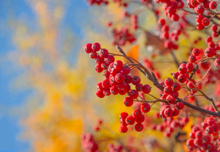 aucuparia: Ripe rowan fruits on the tree with blue sky background, Sorbus aucuparia