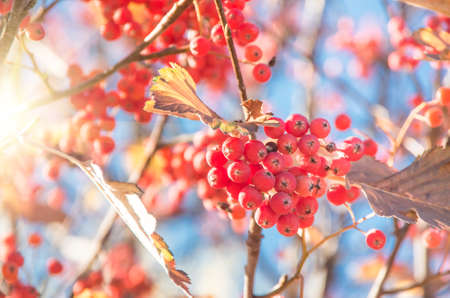 Ripe rowan fruits on the tree with blue sky background, Sorbus aucuparia