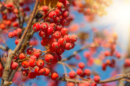sorbus: Ripe rowan fruits on the tree with blue sky background, Sorbus aucuparia