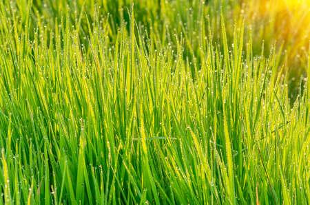 herbe verte de rosée au petit matin le soleil