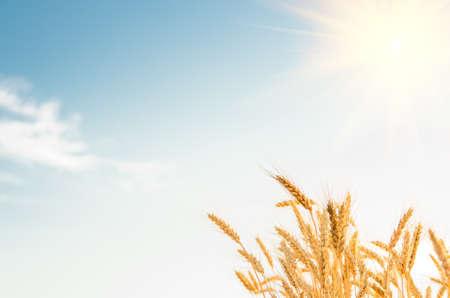 Een tarwe veld, verse oogst van tarwe. Stockfoto