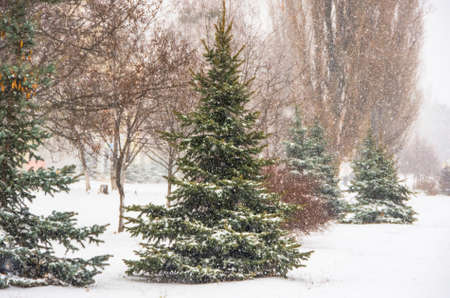 covered in snow: Snow fir tree branches under snowfall. Winter Stock Photo