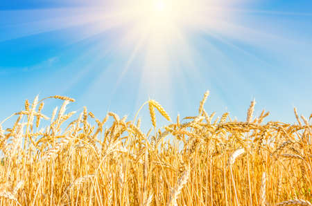 seed plant: Ripe wheat on the field in summer