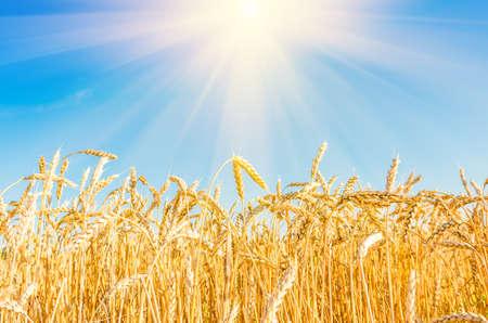 cultivo de trigo: trigo maduro en el campo en verano