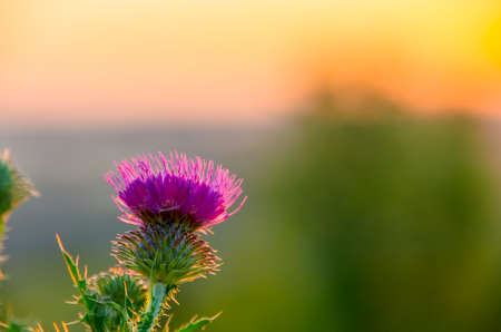 prickly: Prickly thistle pink flowers in the field Stock Photo