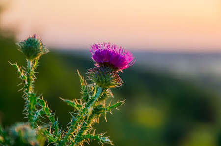 Prickly thistle pink flowers in the field Stock Photo