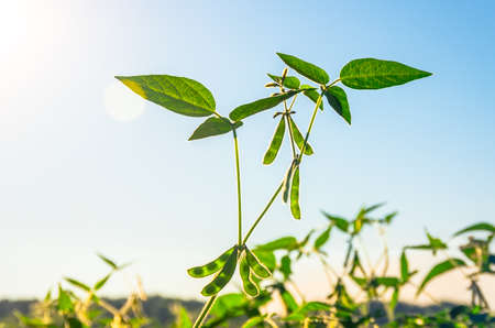 soybean: Green growing soybeans on a sunny day Stock Photo