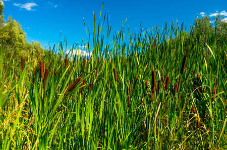 bullrush: reeds on the river in the early summer morning Stock Photo
