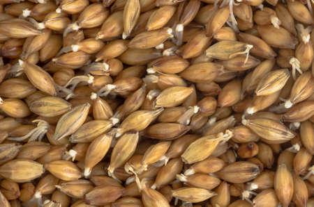 cebada: Granos del medio ambiente orgánica germinación de la cebada fondo de cerca