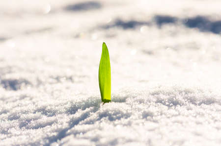 winter flower: Beautiful green plant sprouting through the snow in the winter