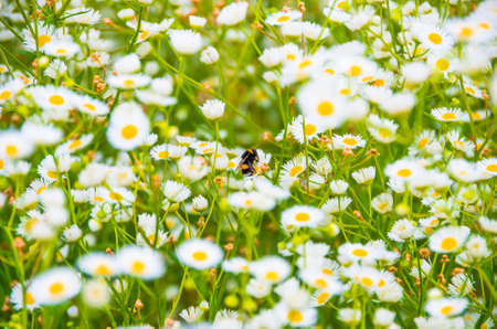 gathers: In the morning bumblebee gathers pollen on a daisy field