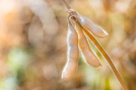 Ripe soybeans on the field ready to harvest Foto de archivo