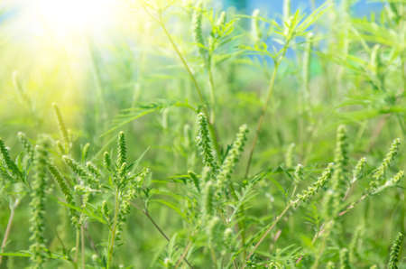 ambrosia: Green grass ragweed growing in a field