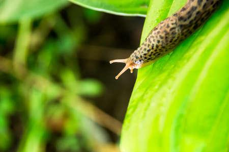 Hermaphrodite: Leopard slug on a green leaf Hosta Sum