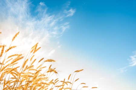 cosecha de trigo: mazorcas de oro del trigo en el campo