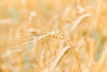 grain fields: Golden ripe ear of wheat on the field