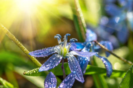 bluebell woods: dew in early spring morning on the blue snowdrops in the forest, close Stock Photo