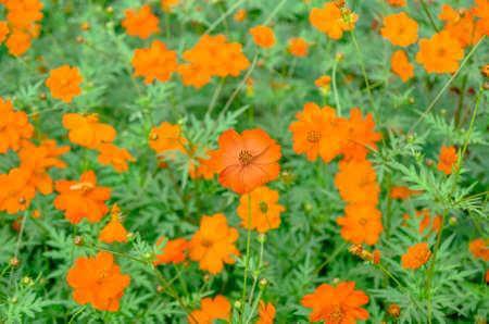 Zeer mooie oranje bloemen die in de zomersulfureus bloeien