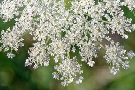 milfoil: Achillea millefolium known commonly as yarrow. Wildflower