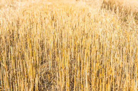 stubble: Details of a stubble field after harvesting wheat and straw.
