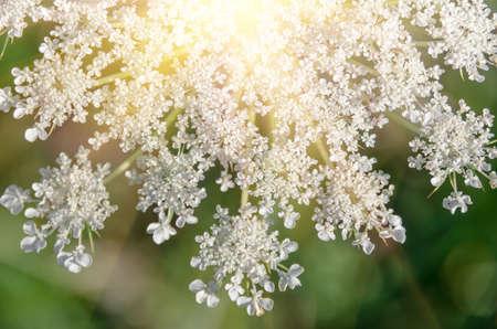 millefolium: Achillea millefolium known commonly as yarrow. Wildflower