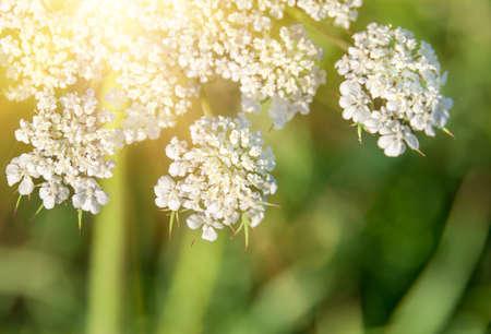 yarrow: Achillea millefolium known commonly as yarrow. Wildflower