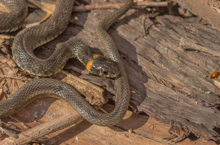 grass snake: Grass snake living in the forest to meet on the trail