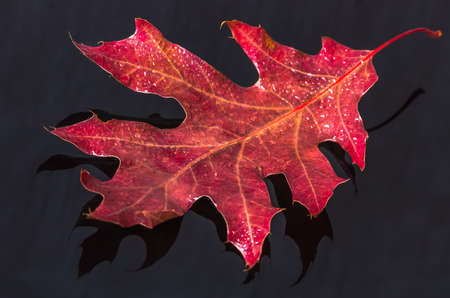 autumn red leaf with dew on a black background