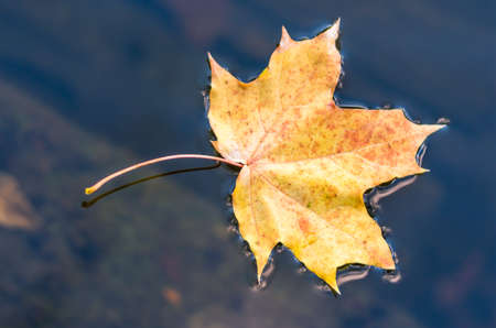 fallen leaf: Autumn maple Yellow fallen leaf floating on the dark water Stock Photo