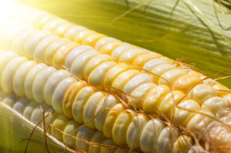 ecologically: Grains of ripe fresh organic corn of the new harvest gathered in ecologically clean area of the country, close, background