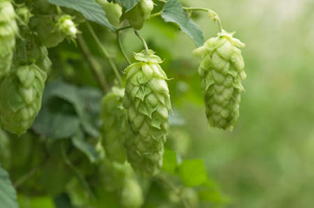 lupulus: Growing on the branch cones green hops grown for brewing beer, and bread as well as a seasoning for food Stock Photo