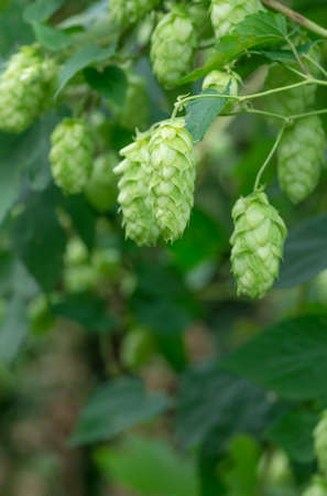Growing on the branch cones green hops grown for brewing beer, and bread as well as a seasoning for food Stock Photo
